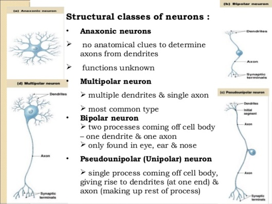 anatomy-nervous-tissue-chap-13-8-638