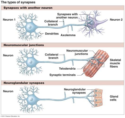 synapsetypes