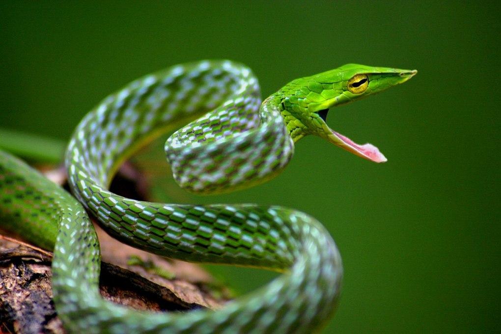 1200px-Davidraju_Vine_snake