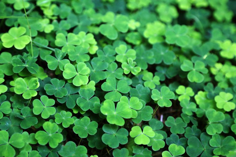close-up-of-a-bunch-of-green-clover-812788284-5a5bc0525b6e2400389232b7